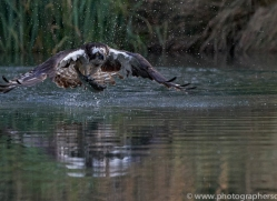 osprey-hide-rutland-copyright-photographers-on-safari-com-9635