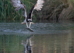 osprey-hide-rutland-copyright-photographers-on-safari-com-9636