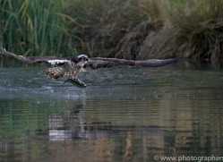 osprey-hide-rutland-copyright-photographers-on-safari-com-9637