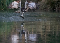 osprey-hide-rutland-copyright-photographers-on-safari-com-9638