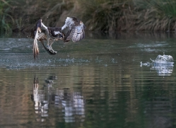 osprey-hide-rutland-copyright-photographers-on-safari-com-9640