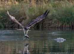 osprey-hide-rutland-copyright-photographers-on-safari-com-9641