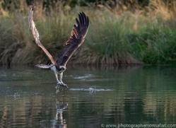 osprey-hide-rutland-copyright-photographers-on-safari-com-9643