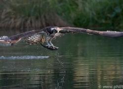 osprey-hide-rutland-copyright-photographers-on-safari-com-9646