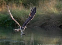 osprey-hide-rutland-copyright-photographers-on-safari-com-9650