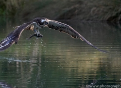 osprey-hide-rutland-copyright-photographers-on-safari-com-9651