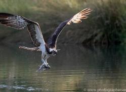 osprey-hide-rutland-copyright-photographers-on-safari-com-9652