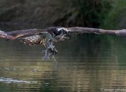 osprey-hide-rutland-copyright-photographers-on-safari-com-9653