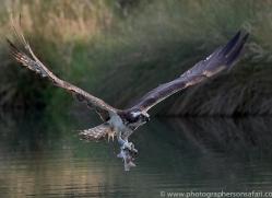 osprey-hide-rutland-copyright-photographers-on-safari-com-9655