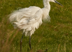 osprey-hide-rutland-egret-copyright-photographers-on-safari-com-9585