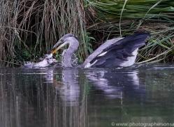osprey-hide-rutland-grey-heron-copyright-photographers-on-safari-com-9658