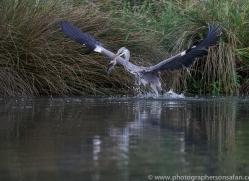 osprey-hide-rutland-grey-heron-copyright-photographers-on-safari-com-9664