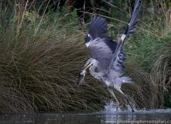 osprey-hide-rutland-grey-heron-copyright-photographers-on-safari-com-9665