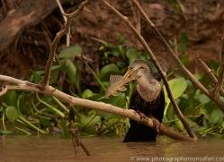 anhinga-copyright-photographers-on-safari-com-7193