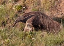 anteater-copyright-photographers-on-safari-com-7139