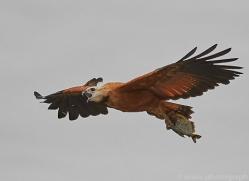 black-collared-hawk-copyright-photographers-on-safari-com-7194