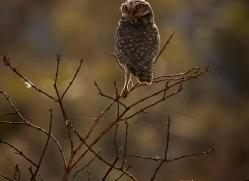 burrowing-owl-copyright-photographers-on-safari-com-7199