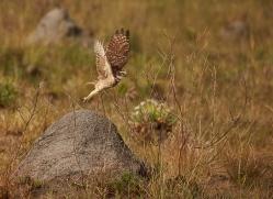 burrowing-owl-copyright-photographers-on-safari-com-7202