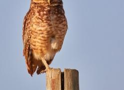 burrowing-owl-copyright-photographers-on-safari-com-7206