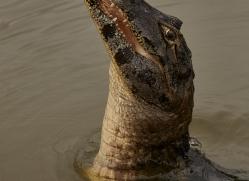 caiman-copyright-photographers-on-safari-com-7144