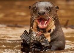 giant-river-otter-copyright-photographers-on-safari-com-7168