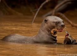 giant-river-otter-copyright-photographers-on-safari-com-7169
