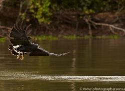 great-black-hawk-copyright-photographers-on-safari-com-7223