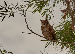 great-horned-owl-copyright-photographers-on-safari-com-7225