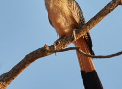 guira-cuckoo-copyright-photographers-on-safari-com-7228