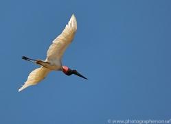 jabiru-stork-copyright-photographers-on-safari-com-7235