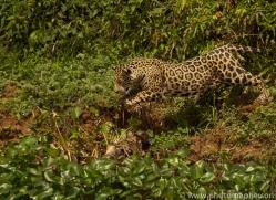 jaguar-copyright-photographers-on-safari-com-7053