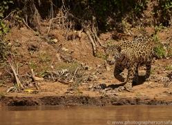 jaguar-copyright-photographers-on-safari-com-7055