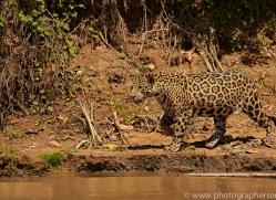 jaguar-copyright-photographers-on-safari-com-7056