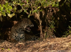 jaguar-copyright-photographers-on-safari-com-7067