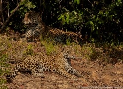 jaguar-copyright-photographers-on-safari-com-7068