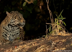 jaguar-copyright-photographers-on-safari-com-7070