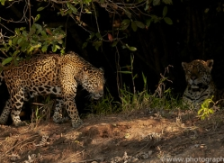 jaguar-copyright-photographers-on-safari-com-7072