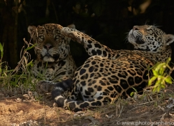 jaguar-copyright-photographers-on-safari-com-7073