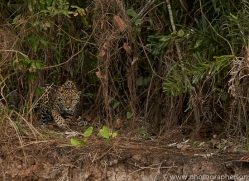 jaguar-copyright-photographers-on-safari-com-7074