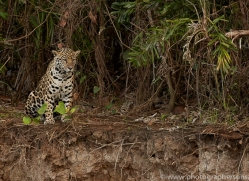 jaguar-copyright-photographers-on-safari-com-7075