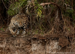 jaguar-copyright-photographers-on-safari-com-7076