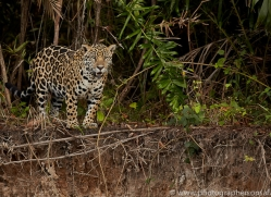 jaguar-copyright-photographers-on-safari-com-7078