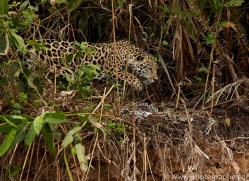 jaguar-copyright-photographers-on-safari-com-7079