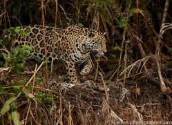 jaguar-copyright-photographers-on-safari-com-7080