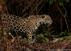 jaguar-copyright-photographers-on-safari-com-7084