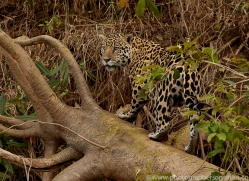 jaguar-copyright-photographers-on-safari-com-7085