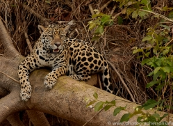 jaguar-copyright-photographers-on-safari-com-7087