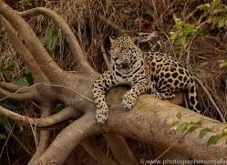 jaguar-copyright-photographers-on-safari-com-7088