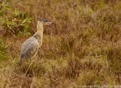 whistling-heron-copyright-photographers-on-safari-com-7256