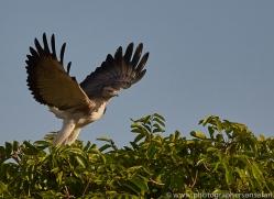 white-tailed-eagle-copyright-photographers-on-safari-com-7258